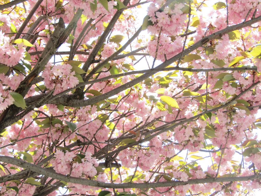 Cerisier japonais - Fleurs de Sakura