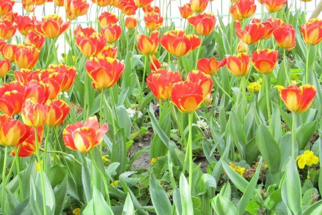 tulipes photo strawberries.fr