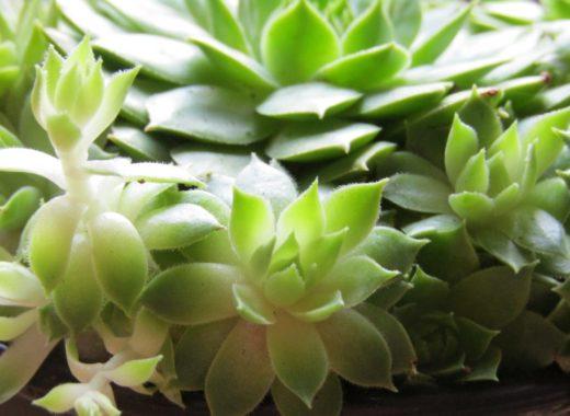 Sempervivum Succulente plante