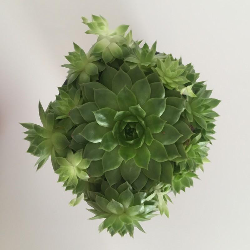 Mes petites plantes cactus et succulentes strawberries for Petites plantes vertes