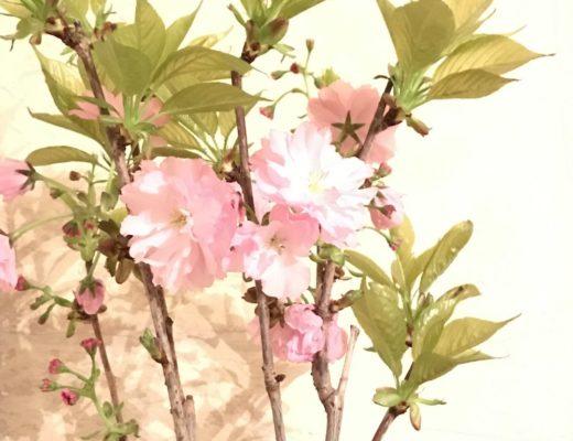 sakura prunus