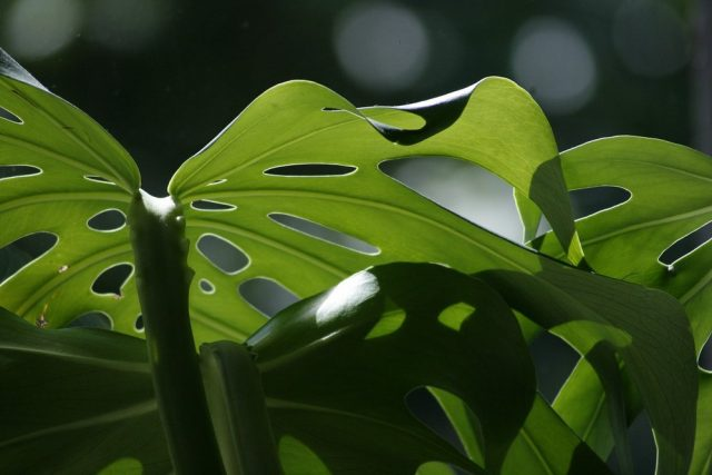 feuilles de monstera deliciosa faux philodendron