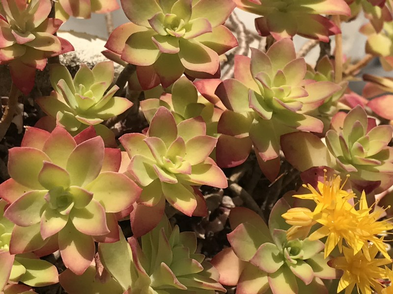 succulentes exterieur