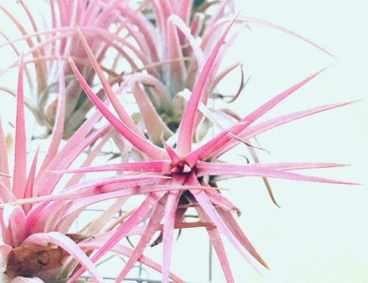 Fille de L'air Tillandsia Rose