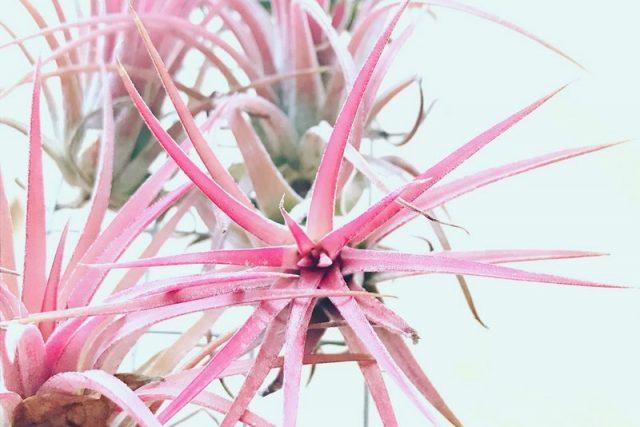 Fille de L'air Tillandsia Rose