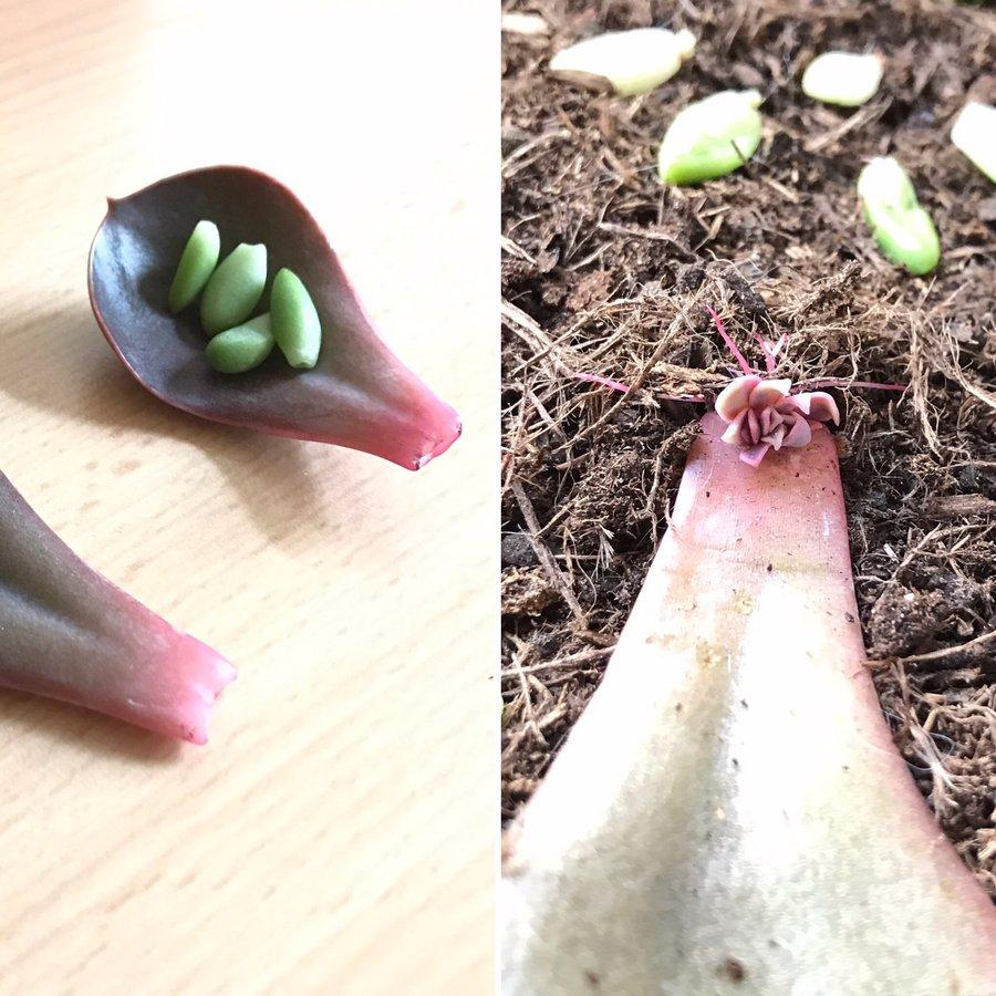 Avant Après - Boutures feuilles Echeveria Purple Pearl