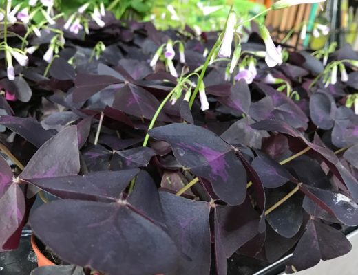 Pot d'Oxalis Triangularis