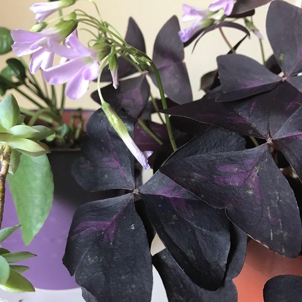 Oxalis Pourpre et pots de succulentes