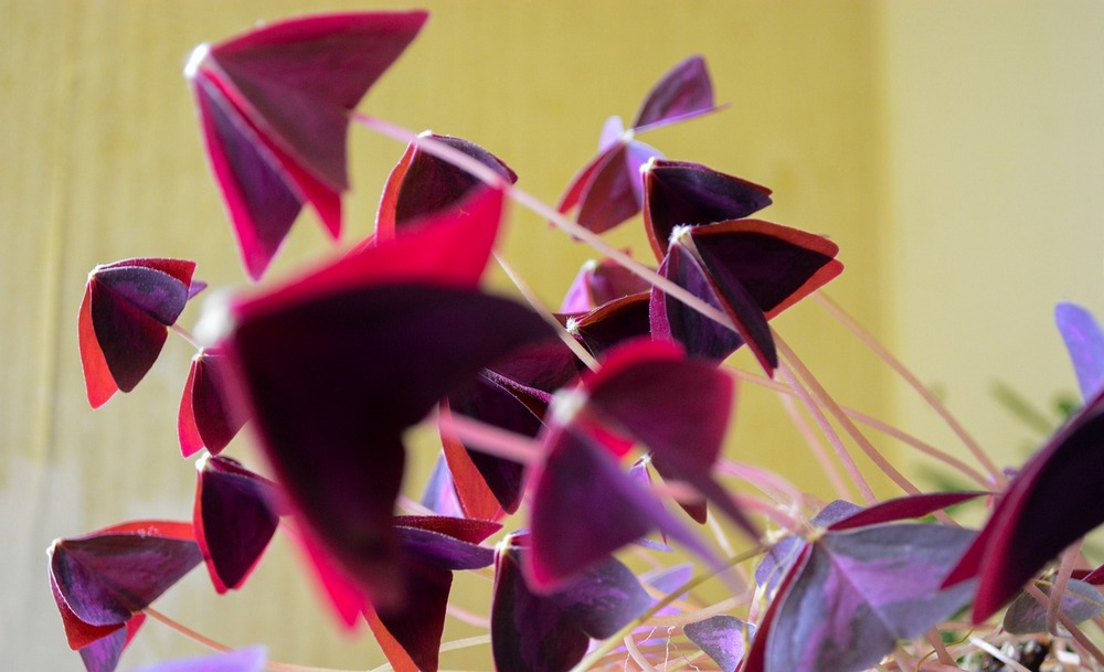 Oxalis Triangularis - Oxalis Pourpre
