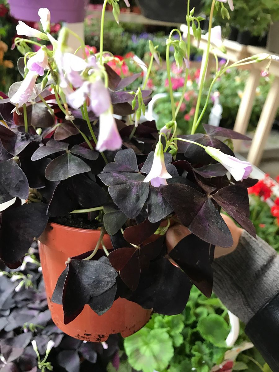 Pot D Oxalis pourpre fleuri