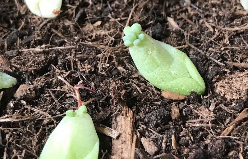 Boutures feuilles Sedum Succulentes