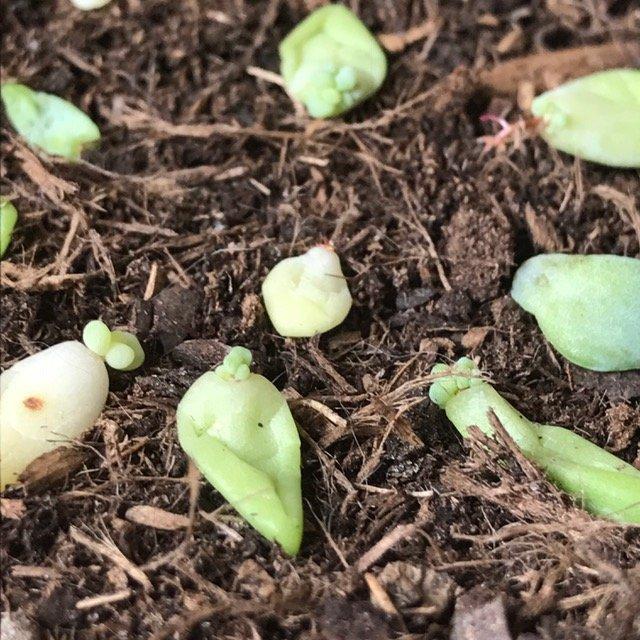 Feuilles Sedum bouturées - Plantes Grasses