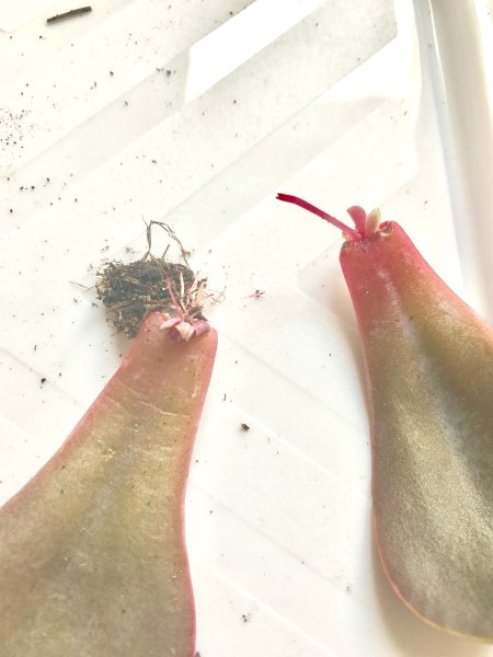 Feuilles de Boutures de plantes grasses qui sèchent