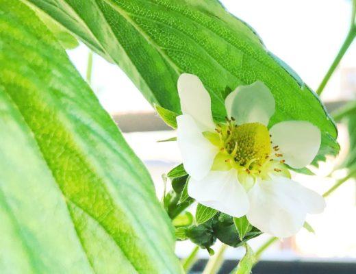 Fleur de Fraisier - Potager sur le Balcon
