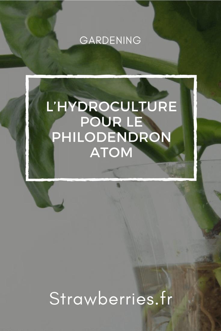 L'Hydroculture pour le Philodendron Atom