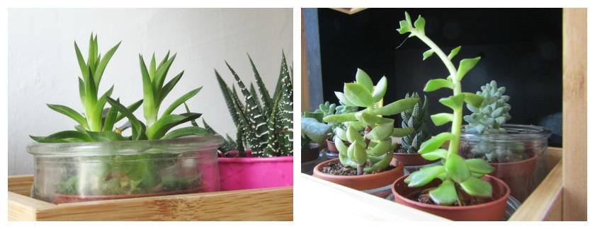 Petites Plantes grasses dans des pots en verre