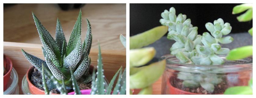 Succulentes Dans des Pots en verre