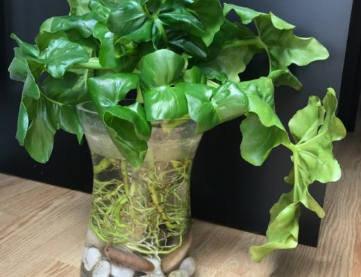 Philodendron Atom - 2 mois en eau