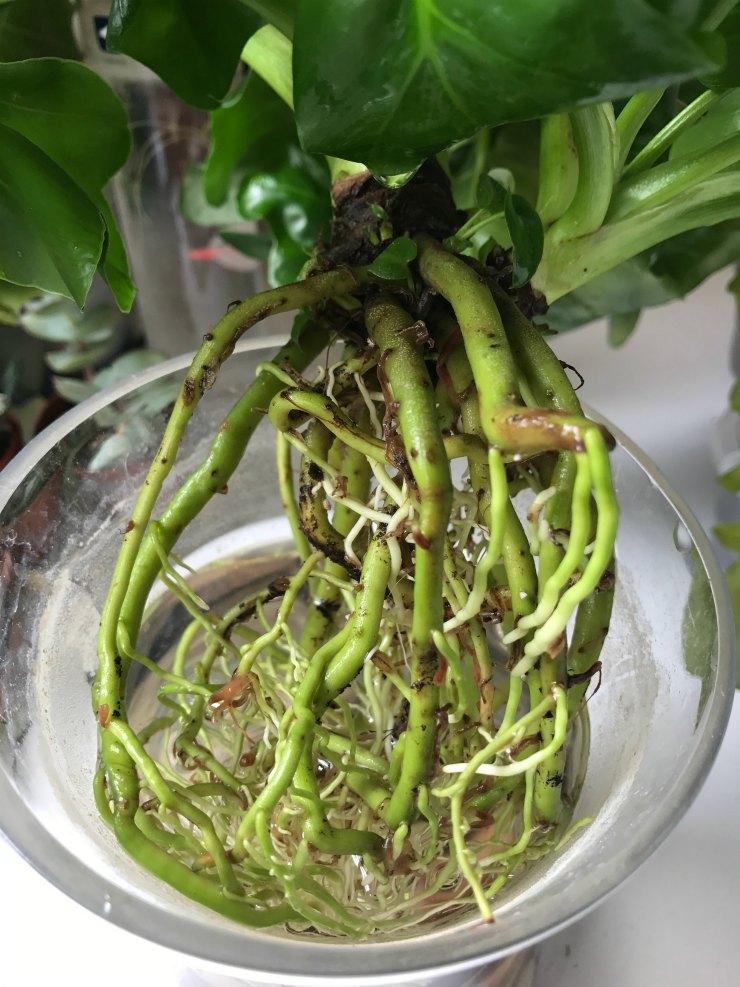 Philodendron Atom - Racines mortes retirées - Motte propre.jpg