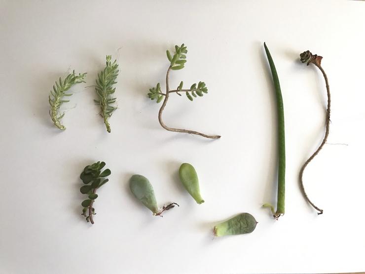 Tiges et feuilles de plantes grasses