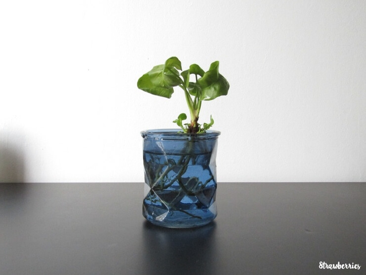 Bouture de Philodendron Atom