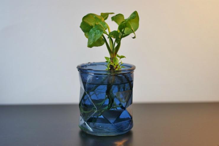 Philodendron Atom dans pot bleu Botanic