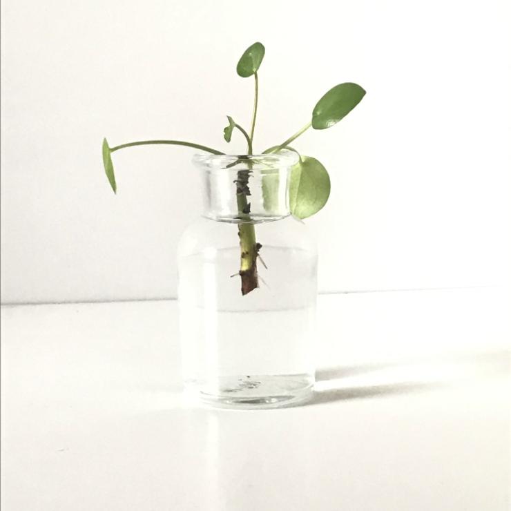 Bouture Pilea pepermioides dans pot en verre et eau