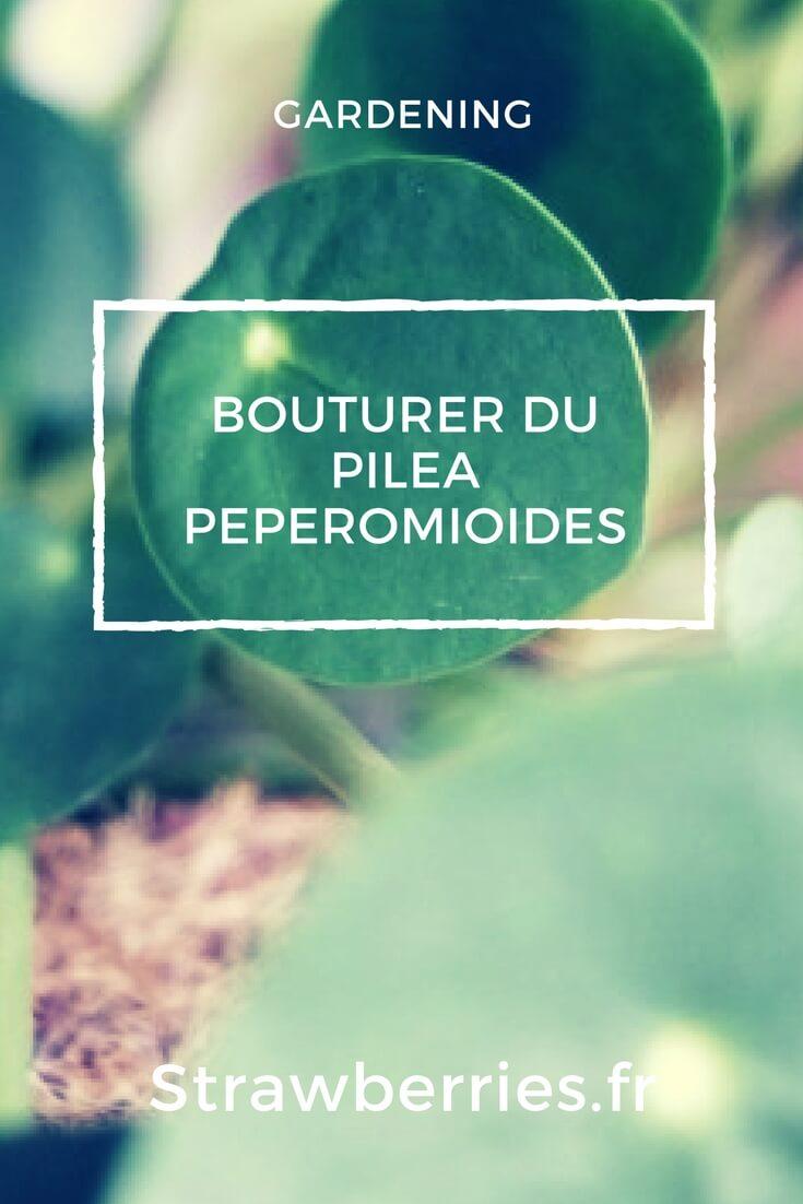 Bouturer du Pilea Peperomioides