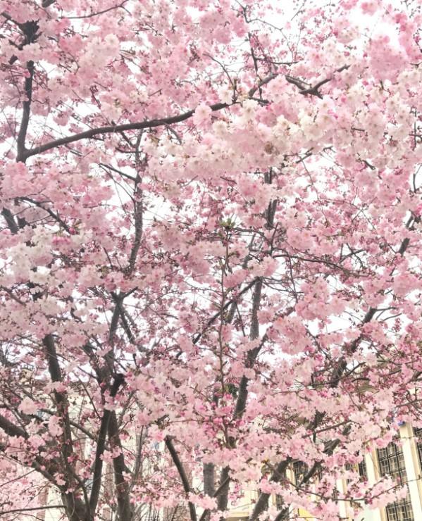 Cerisiers japonais en fleurs