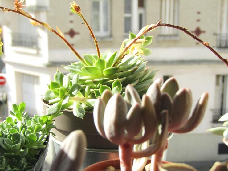 Echeveria Ramillette et autres plantes grasses