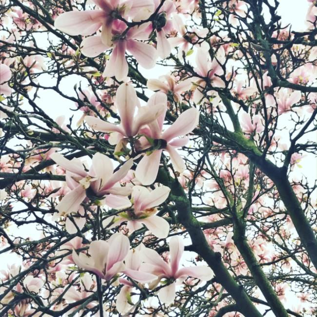 Magnolias en Avril