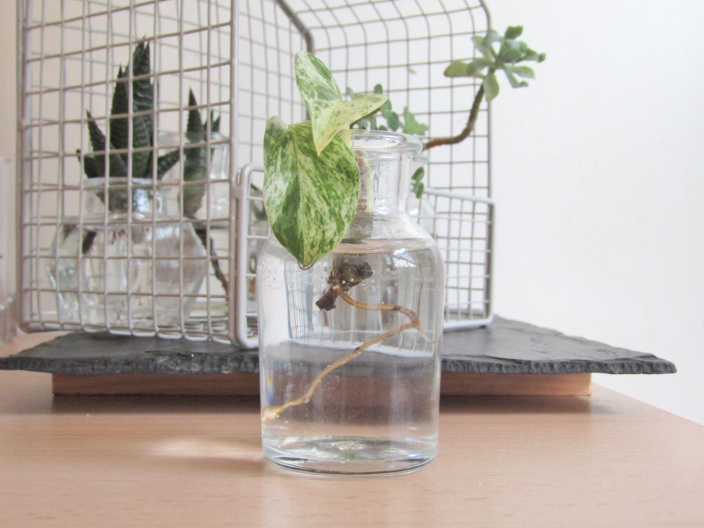 Boutures Plantes vertes et plantes grasses