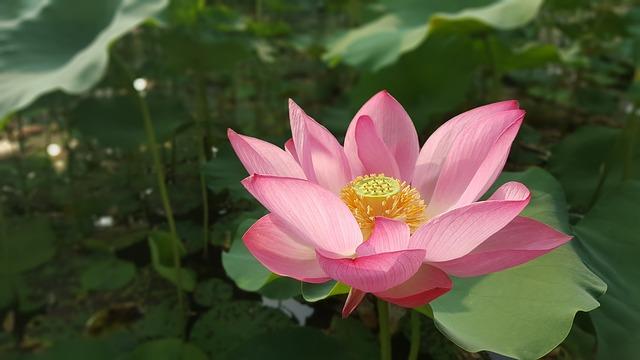 Nelumbo nucifera Fleur de lotus