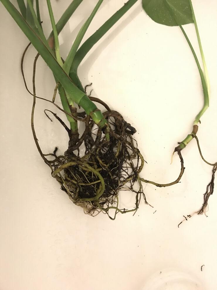 Motte de racines de monstera deliciosa