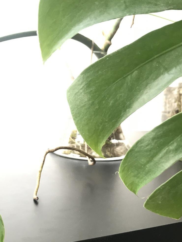 Philodendron dans l eau