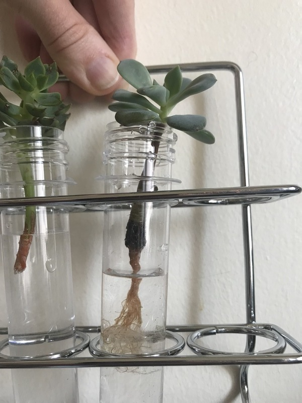 Boutures de plantes grasses en tube a essai
