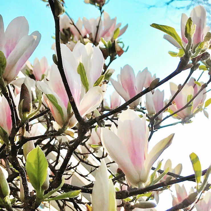 Magnolia Blanc