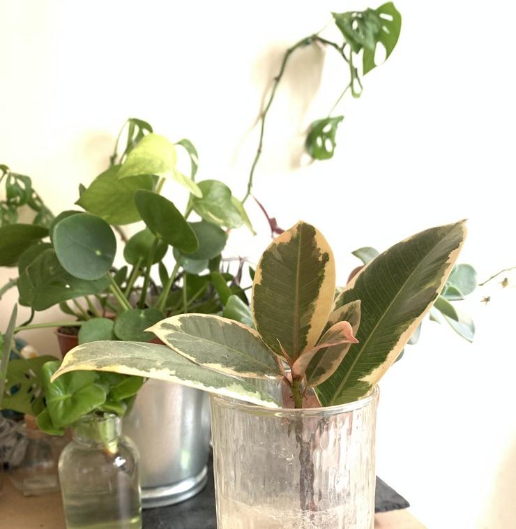 Caoutchouc ficus elastica variegata en eau