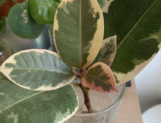 Caoutchouc ficus elastica variegata poussant en eau