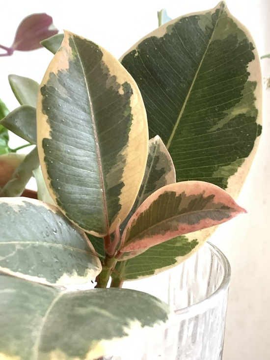 Caoutchouc ficus elastica variegata