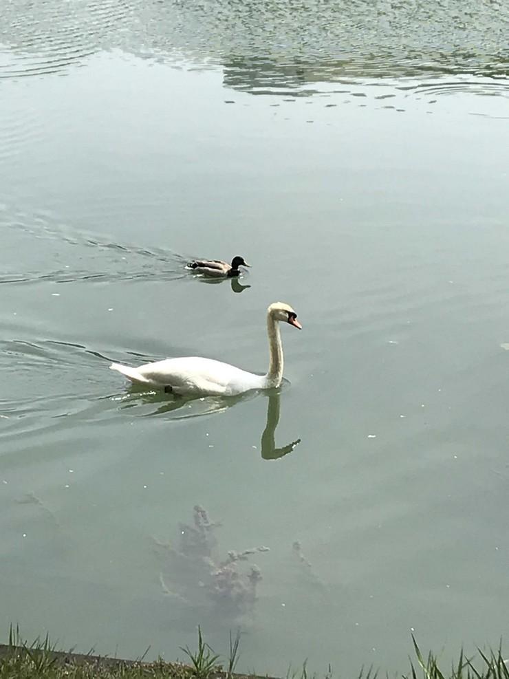 Cygne et canard en bord de Seine - île de Chatou