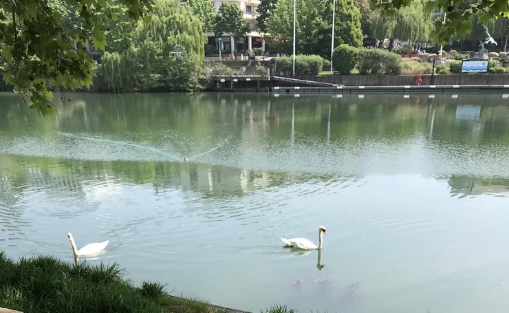 Cygnes en bord de Seine