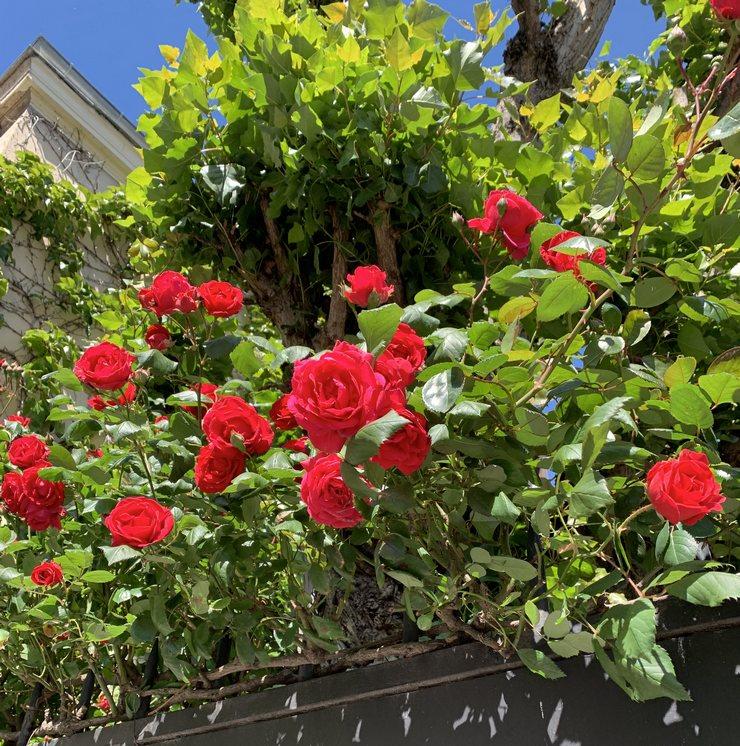 Joli rosier du mois de mai