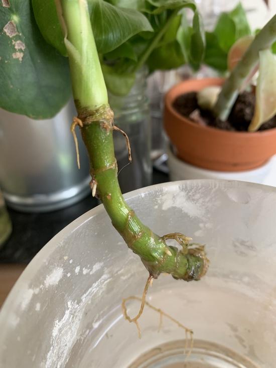 Racines de bouture de langue de belle mère en eau - Sansevieria trifasciata