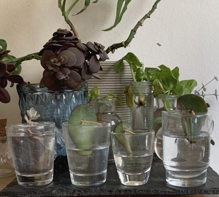 Boutures de feuilles de succulentes en eau