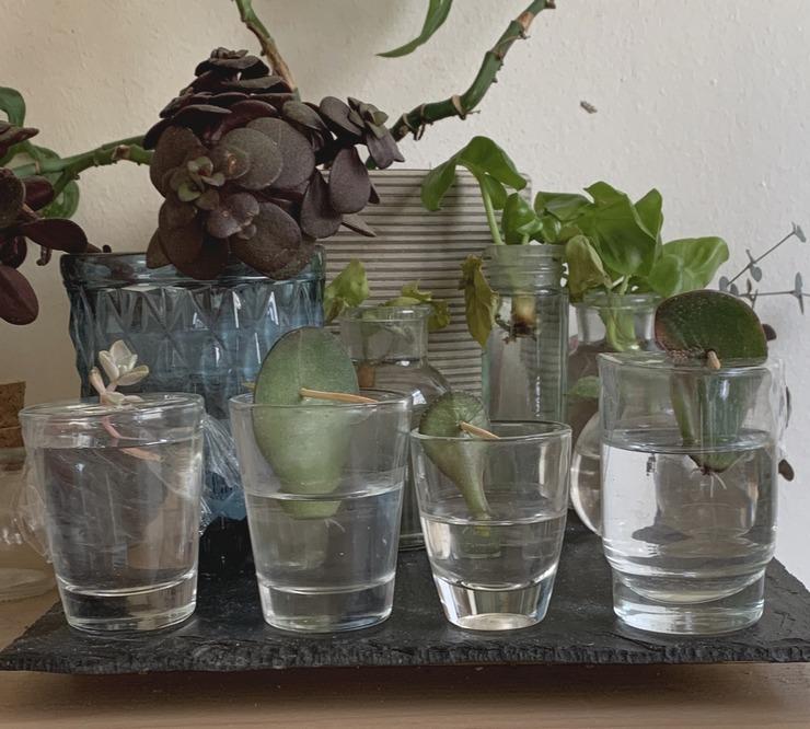Boutures de feuilles et tiges de plantes grasses en eau 2019