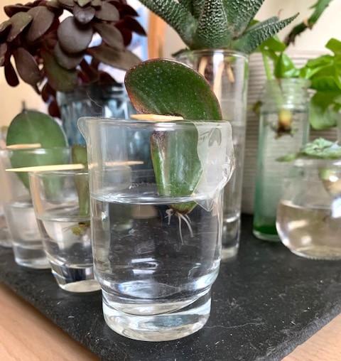 Racines de bouture de feuilles de succulente en eau