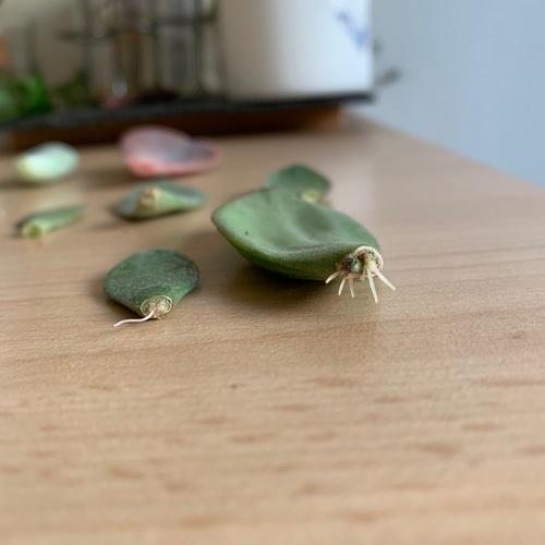 Racines sur boutures de feuille d arbre de jade