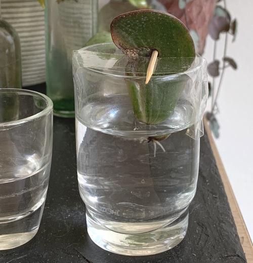bouture de feuilles de plante grasse dans l eau - verre a shot