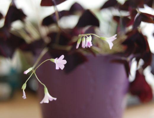 Fleurs d oxalis triangularis pourpre